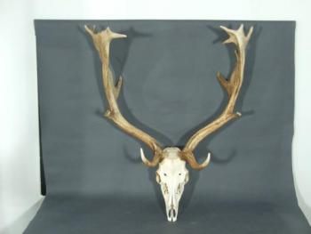 Hunting Trophy - 1940